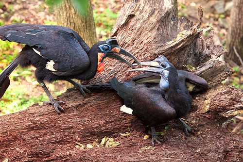 Ground Hornbill - 15 million year old fighters - Preview | by Evan Animals