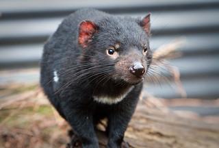 Tasmanian Devil | by jomilo75