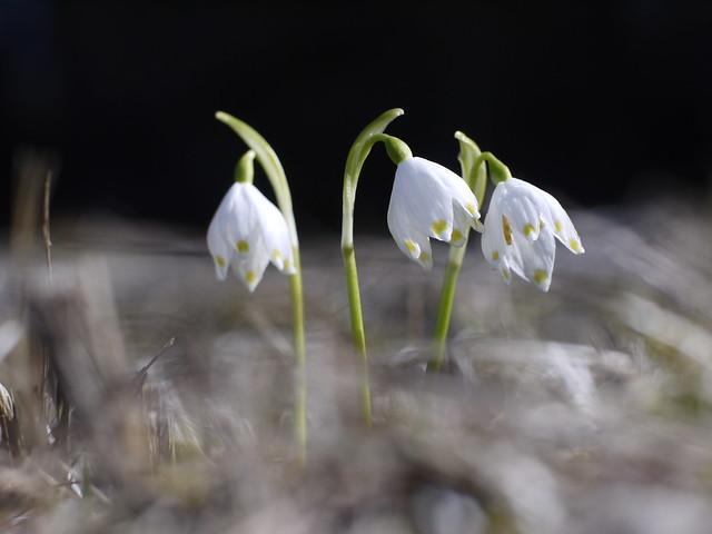 Galanthus, Wild Snow Drop, Wildes Schneeglöckchen, Spring