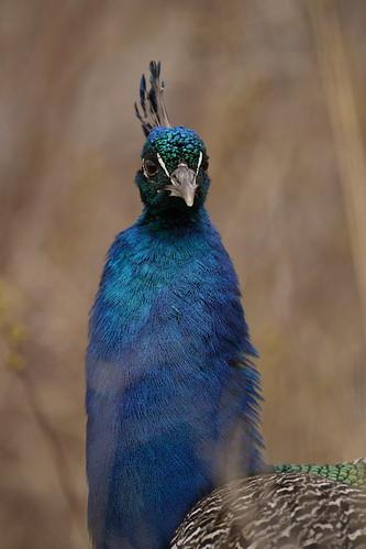 Detroit Zoo Peacock  2   by Scott_Calleja