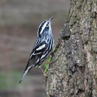 Black and White Warbler | by Mike's Birds