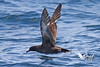 Sooty Shearwater by Keith Carlson