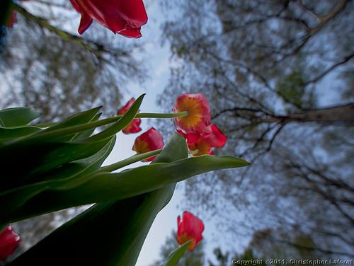 trees tulips lookup nikond700 bugeyesview chrislaforet sigma14ed claforet