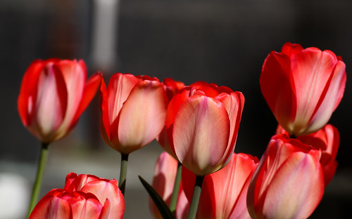 Red Tulips | by gepixelt