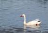Coscoroba swan - Coscoroba blanc - Cisne coscoroba - Coscoroba coscoroba by Rafael G. Sanchez