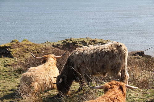 wooly cow | by tommytweed