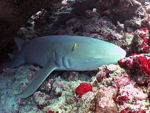 Tawny Nurse Shark | by sharkdefenders