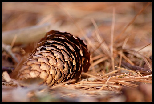 Pine Cone | by Iguanasan