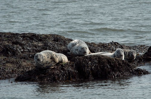 Grey Seals on Inchcolm | by marsupium photography