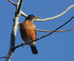 American Robin, Armstrong Twp., Indiana Co., PA
