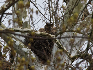 Great Horned Owl nest | by Laura Erickson