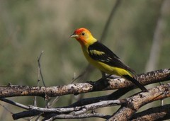 Western Tanager, Madera Canyon, AZ
