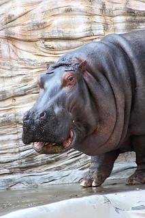 Hippopotamus - 13 | by Kabacchi