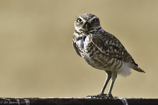 Burrowing Owl | by Bob Gunderson