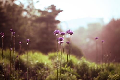 morning flowers brown toronto ontario canada flower macro green water rain sunrise canon spring purple waterdrops musicgarden alienskin t1i ef100l
