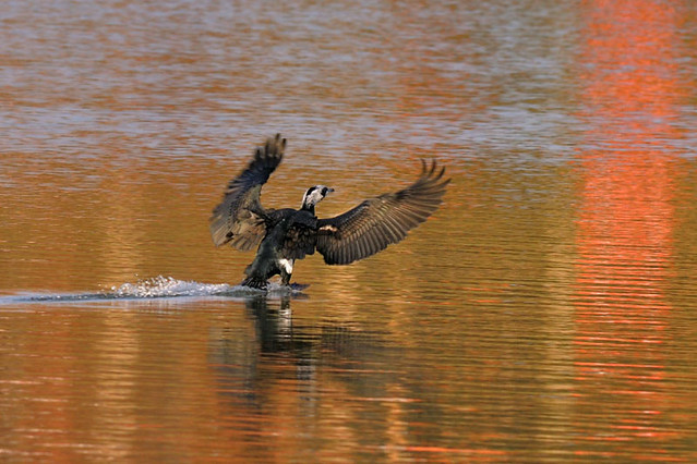 Cormorant landing DSC_2018 1002