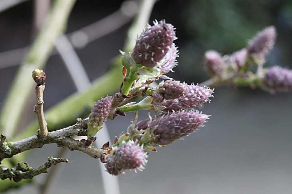 Wisteria Flower Buds Angle Shades Flickr