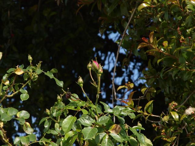 K4116730 renae rose buds