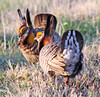 Lesser Prairie Chickens by Geary County Convention and Visitors Bureau