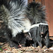 Skunks - Photo (c) Greg Schechter, some rights reserved (CC BY)