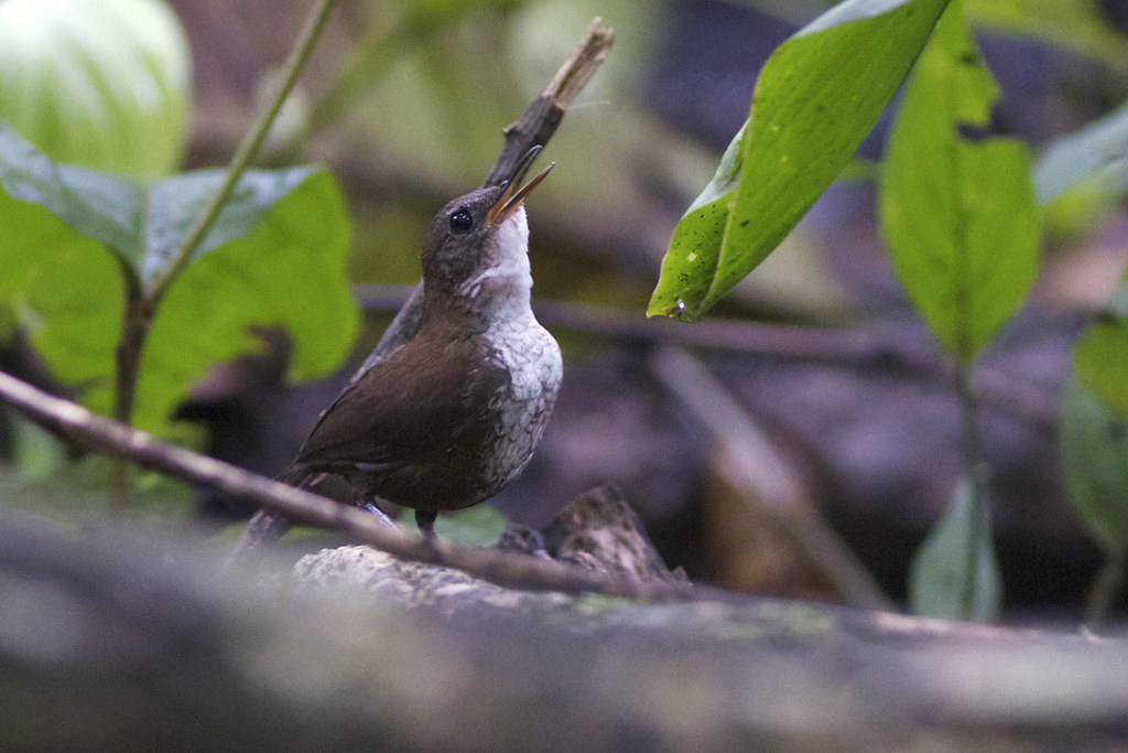 Southern Nightinggale-Wren (Microcerculus marginatus)