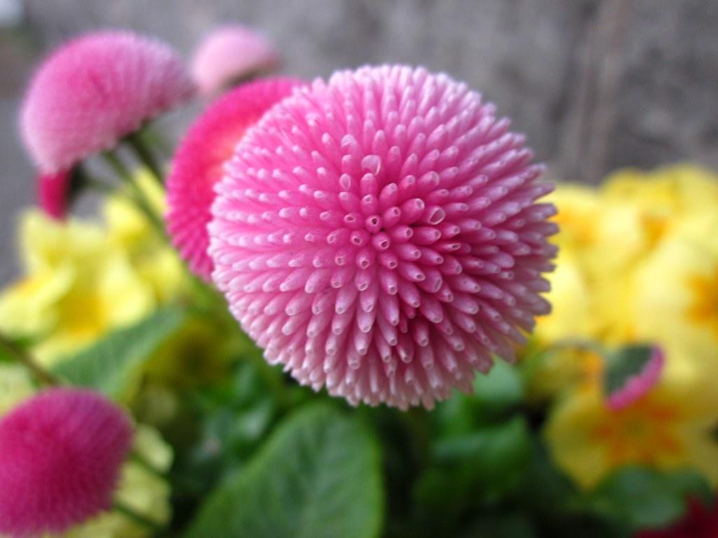 Fiori A Palla.Fiore A Palla Leila Flickr