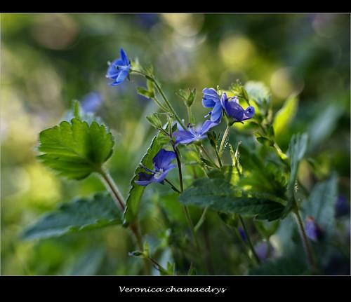 Germander Speedwell - (Veronica Chamaedrys ) | Hope you ...