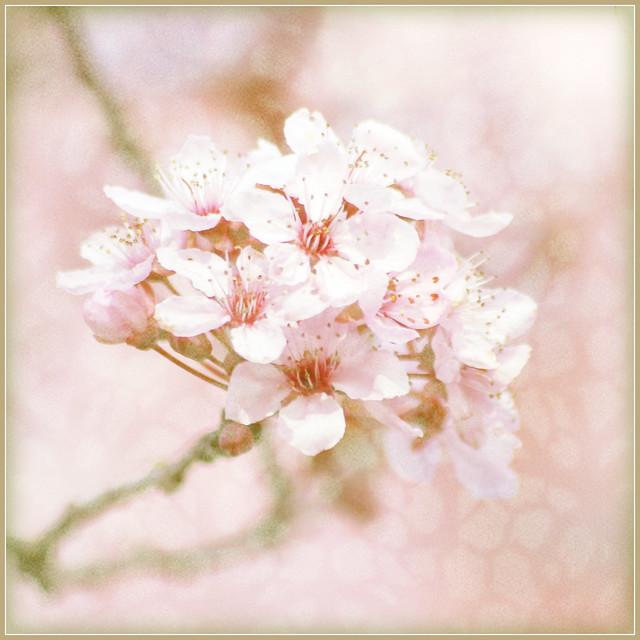 blossoms . . .