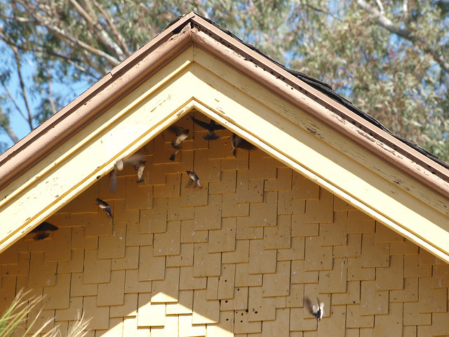 K4257543 combined 110424 LLC RR Goleta station south end eaves swallows PScs4