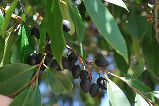 Prunus caroliniana 6   by briweldon