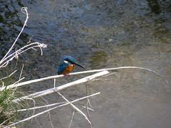 #6648 river kingfisher (カワセミ)