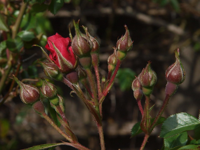K4116729 red wand rose buds side view
