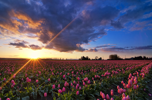 flowers sunset sky flower festival clouds washington tulips tulip flare fields mountvernon skagitvalley skagitvalleytulipfestival sunstar