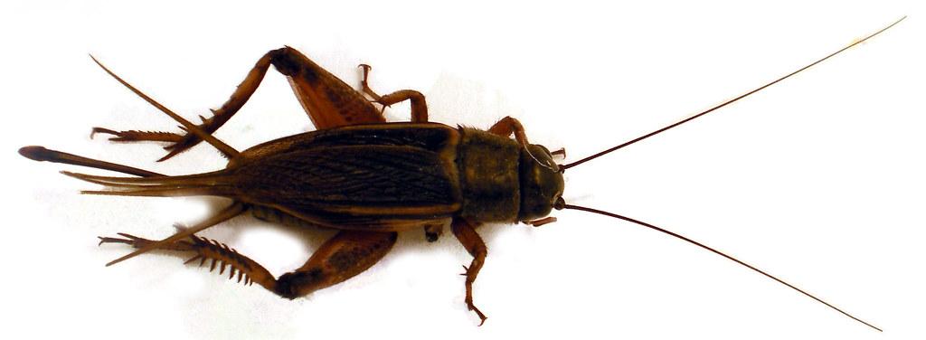 """Resultado de imagen para Gryllidae"""""""