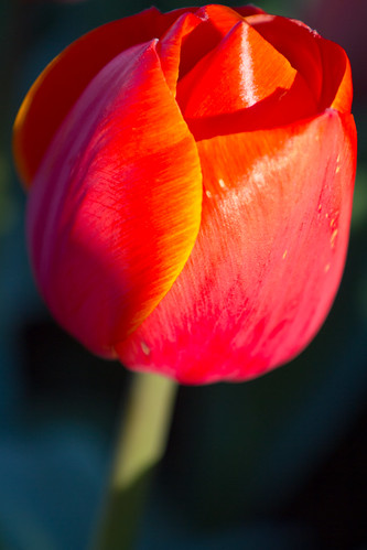 Tulip | by mfeingol