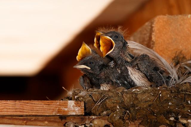Hirundo Rustica, Barn Swallow, Ladusvala