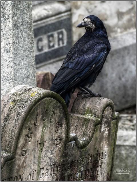 Rook, Old Priory Graveyard, Holywood, Northern Ireland