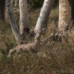Bighorn Sheep lamb