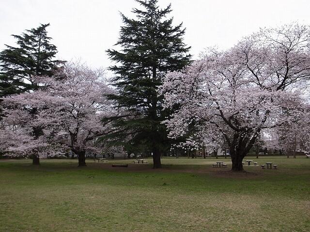 <p>a)常緑樹と桜</p>