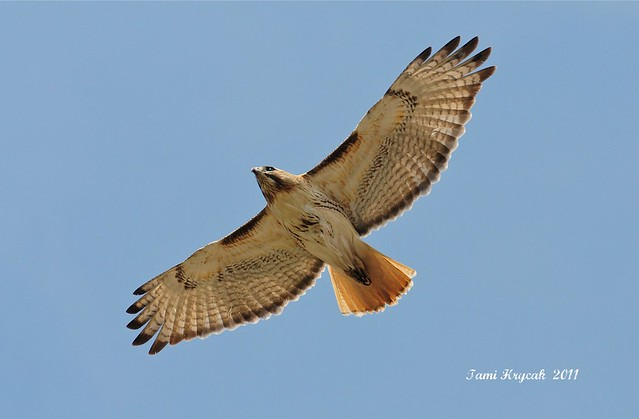 Red-tail Flyby