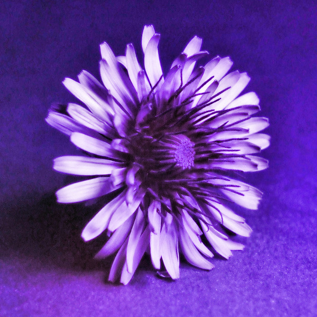 UV dandelion, indoors