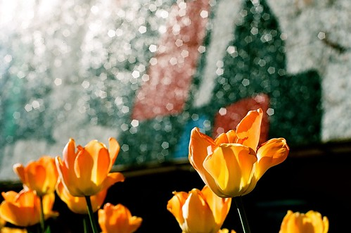 Ulrich Tulips