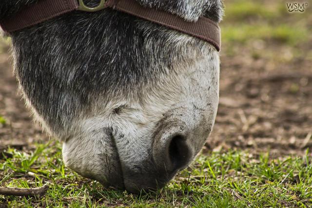 Donkey in Farmleigh - Phoenix Park, Dublin IE-3