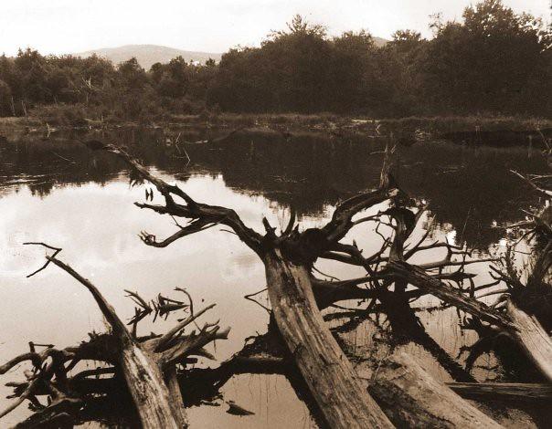 Trees in Wild River Bog 1986