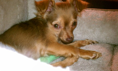 Image: Esteban the  Paraplegic Chihuahua Needs a Home! | by joe.ross