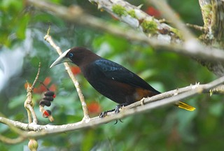 Chestnut-headed Oropendola | by birding4ever