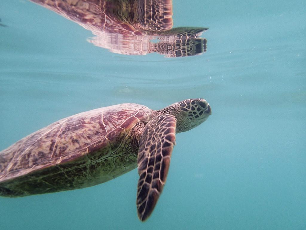Sea Turtle Surfacing Lanikai Beach Oahu Thomas Shahan