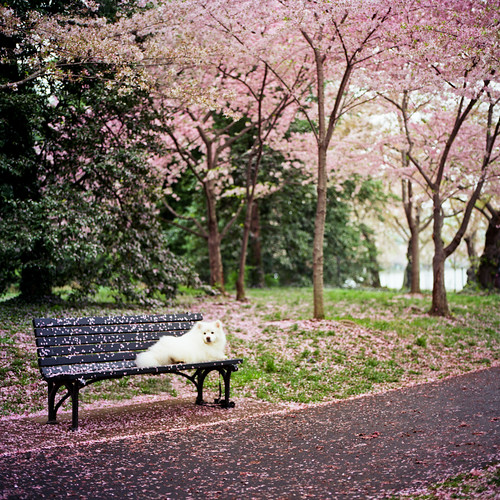 pink trees opportunity dog white green film grass mediumformat square washingtondc petals dof wind canine hasselblad sidewalk sakura cherryblossoms tidalbasin 500cm ektar heyjude rightplaceattherighttime 100yearanniversary