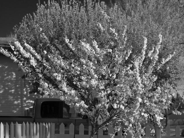 Evening Plum Tree