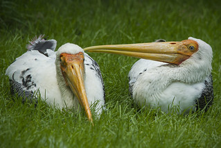 Painted stork - Whisper to me softly | by Patrick Mortko